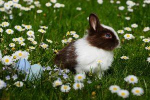 Zu sehen ist ein kleines schwarz-weißes Kaninchen in einer grünene Blumentwiese. Neben ihm sind blaue Ostereier im Gras versteckt.
