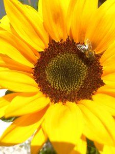 Eine gelb leuchtende Sonnenblume mit einer Biene in der Blüte ist zu sehen.