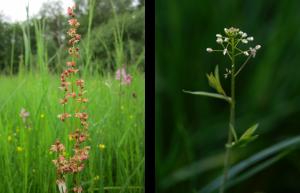 Links ist ein kleiner Sauerampfer mit seinen roten Blüten auf einer Wiese zu erkennen; rechts daneben ein Hirtentäschelkraut mit seinen weißen Blüten.