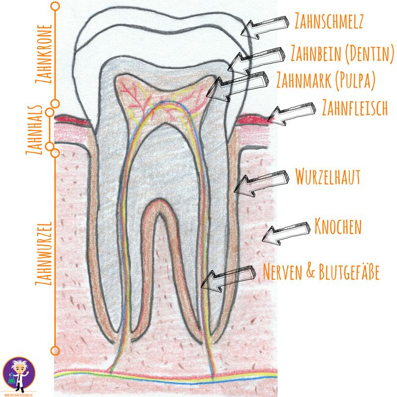 Zahnaufbau Zahnkrone Zahnwurzel Zahnschmelz
